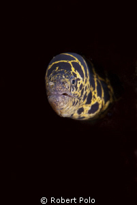 Moray eel, taken in Bonaire 2010. by Robert Polo 